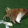 Costa Rica 2010: Las Cruces - Frosted Flasher (Hesperiidae: Eudaminae: Astraptes alardus latia)