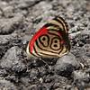 Costa Rica 2010: Las Cruces - Widespread Eighty-eight (Nymphalidae: Biblidinae: Callicorini: Diaethria clymena marchalii)