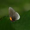 Costa Rica 2010: Las Cruces - White-rayed Metalmark (Riodinidae: Euselasiinae: Hades noctula)