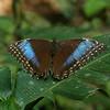 Costa Rica 2010: Las Cruces - Common Morpho (Nymphalidae: Satyrinae: Morphini: Morpho helenor marinita)