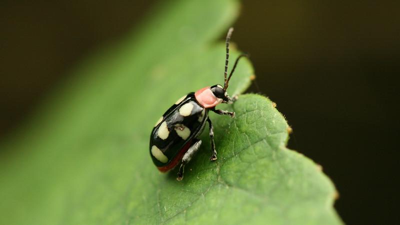 Costa Rica 2010:  Las Cruces - Flea Beetle (Chrysomelidae: Galerucinae: Alticini: Omophoita sp.)