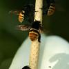 CR2010 Las Cruces - Orchid Bees (Apidae Apinae Euglossini Eulaema cingulata) on an Anthurium spadix_4221