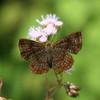Costa Rica 2010:  Las Cruces - Metalmark butterfly (Riodinidae: Riodininae: Riodinini: Calephelis sp.)