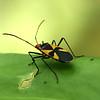 Costa Rica 2010: Las Cruces - Cotton Stainer or Red Bug (Pyrrhocoridae: Pyrrhocorinae: Dysdercus sp.; probably D. flavolimbatus)
