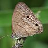 Costa Rica 2010:  Las Cruces - Carolina Satyr (Nymphalidae: Satyrinae: Satyrini: Hermeuptychia sosybius)