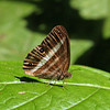 Costa Rica 2010: Las Cruces - White Satyr, Two-banded Satyr or Banded White Ringlet (Nymphalidae: Satyrinae: Satyrini: Pareuptychia ocirrhoe)