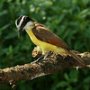 Costa Rica 2010: Osa - Great Kiskadee  (Tyrannidae: Pitangus sulphuratus)