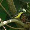 Costa Rica 2010: Osa - Common Tody-flycatcher (Tyrannidae: Todirostrum cinereum)