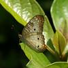 Costa Rica 2010: Osa - White Peacock (Nymphalidae: Nymphalinae: Kallimini: Anartia jatrophae luteipicta)