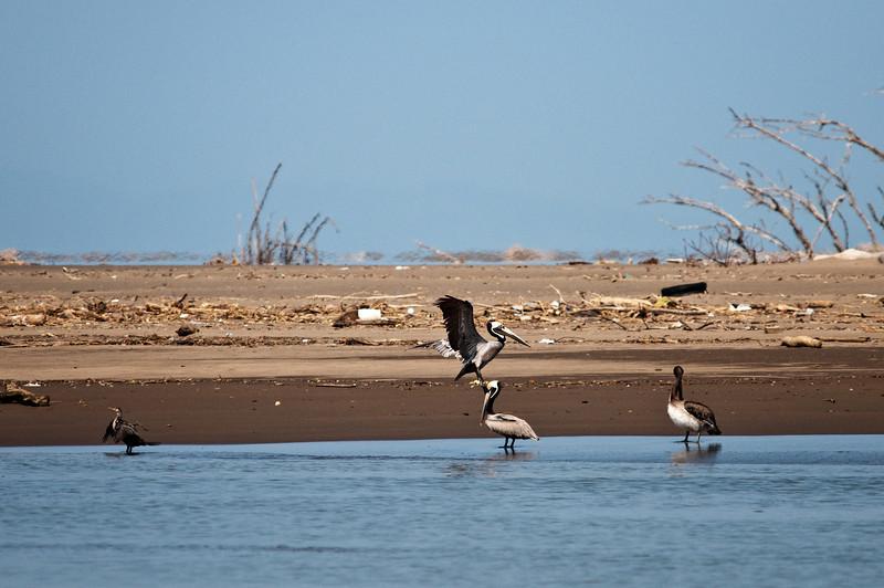 Brown Pelican<br /> <br /> 213-DSC_2615