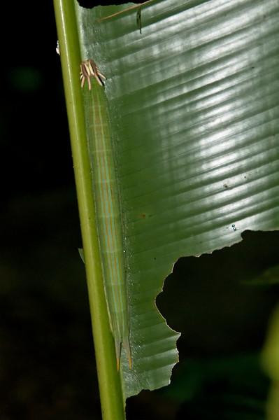 Butterfly larvae<br /> <br /> 108-DSC_1966