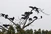 Black Vultures<br /> <br /> 074-DSC_1698