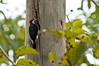 Black-cheeked Woodpecker<br /> <br /> 085-DSC_1831