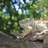 Iguana in Costa Rica jungle