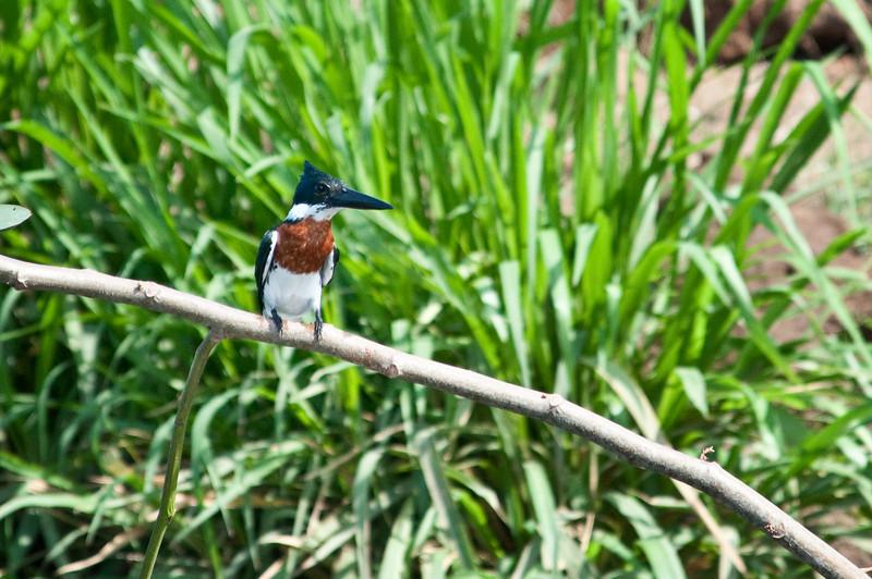 Amazon Kingfisher<br /> <br /> 197-DSC_2456