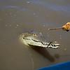 another crocodile smile