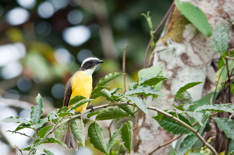 Social Flycatcher, a pretty common bird as we saw it everywhere.<br /> <br /> 053-DSC_1299