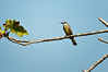 Tropical Kingbird<br /> <br /> 198-DSC_2462