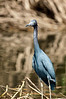 Little Blue Heron<br /> <br /> 216-DSC_2639