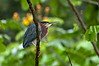 Green Heron<br /> <br /> 063-DSC_1471