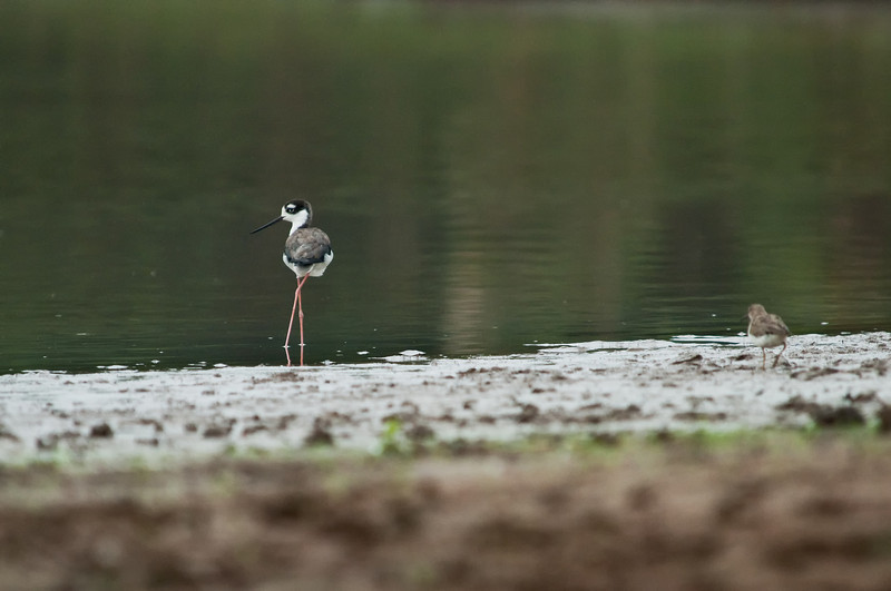 Black-necked Stilt<br /> <br /> 064-DSC_1480