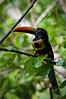 Collard Aracari<br /> <br /> 226-DSC_2739