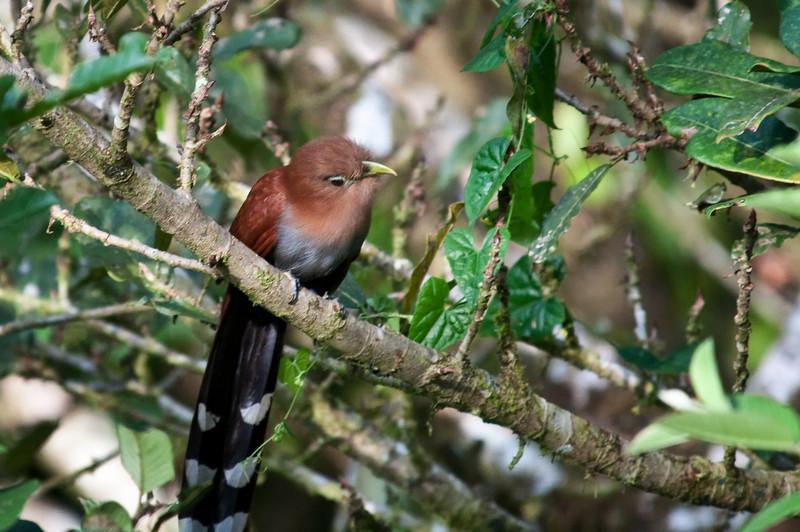 Squirrel Cuckoo<br /> <br /> 031-DSC_1198