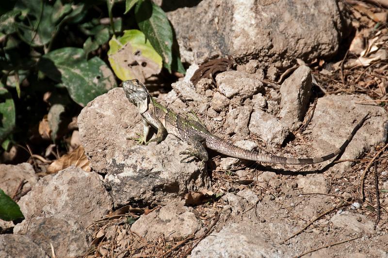 Iguanas everywhere<br /> <br /> 136-DSC_2112