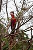 Scarlet Macaw feeding<br /> <br /> 233-DSC_2807