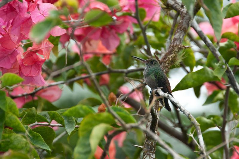 Rufus-tailed Hummingbird<br /> <br /> 115-DSC_1997