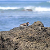 Oyster Catcher on the rocks