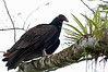 Turkey Vulture<br /> <br /> 094-DSC_1893