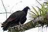 Turkey Vulture<br /> <br /> 094-DSC_1893