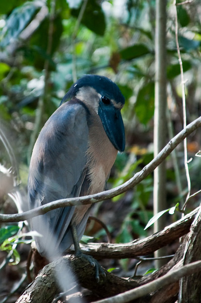 Boat-billed Heron<br /> <br /> 185-DSC_2320