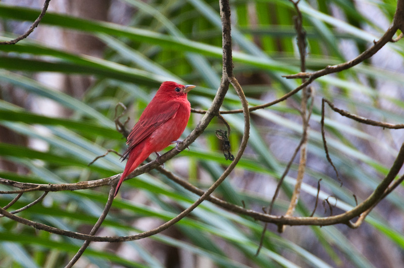 Back at the hotel I found this Summer Tanager.<br /> <br /> 284-DSC_2993