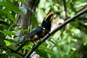Collard Aracari<br /> <br /> 225-DSC_2732