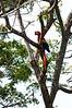 Scarlet Macaw<br /> <br /> 202-DSC_2493