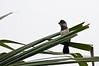 White-necked Puffbird - I think<br /> <br /> 084-DSC_1817