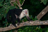 White-faced Monkey eating fruit off a tree while on an early morning walk.<br /> <br /> 167-DSC_2223