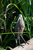 Bare-throated Tiger Heron<br /> <br /> 181-DSC_2282