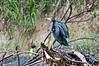 Cormorant<br /> <br /> 073-DSC_1685