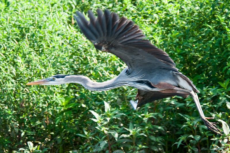 Great Blue Heron<br /> <br /> 193-DSC_2407