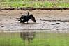 Neotropic Cormorant<br /> <br /> 061-DSC_1463
