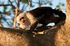 White-faced Monkey while on an early morning walk.<br /> <br /> 165-DSC_2215