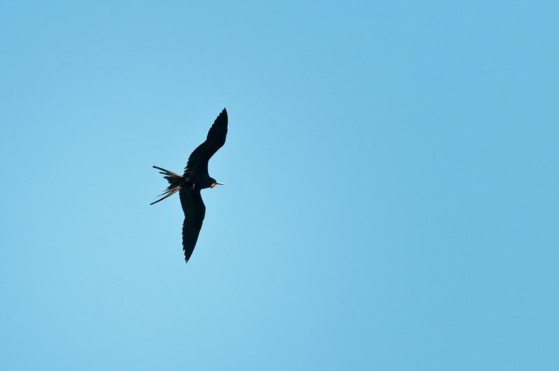 Frigatebird<br /> <br /> 220-DSC_2686