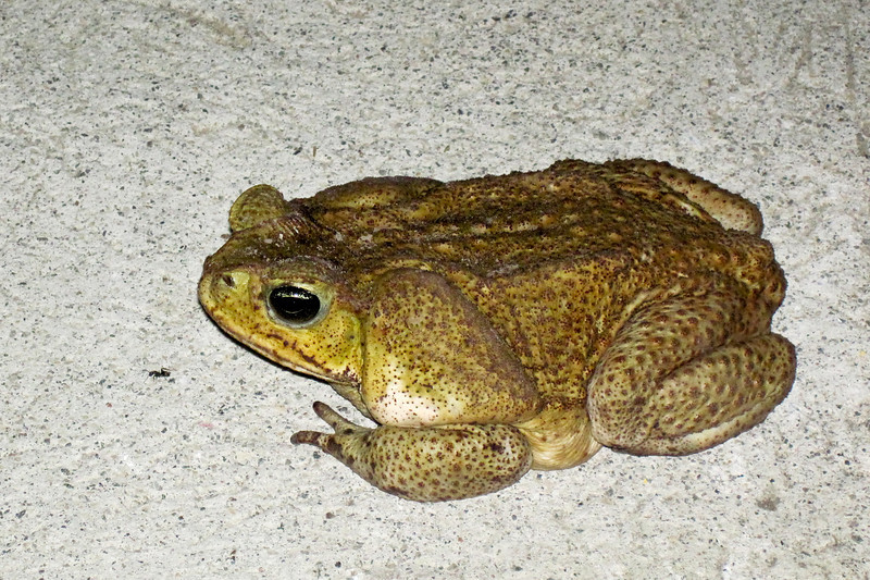 We stumbled on this frog on the way to dinner, he was huge!<br /> <br /> 161-IMG_9020