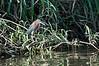Green Heron<br /> <br /> 183-DSC_2307
