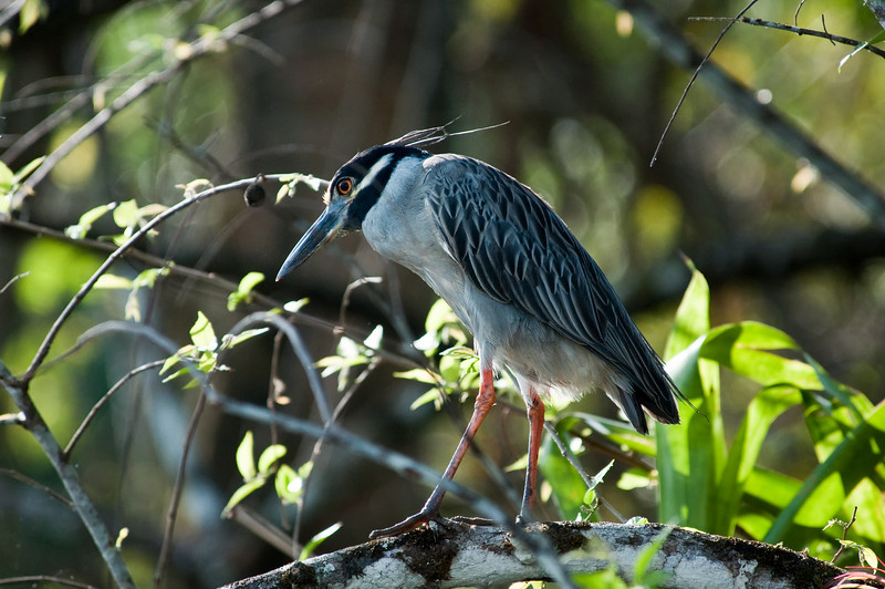 Yellow-crowned Nigh Heron<br /> <br /> 186-DSC_2327