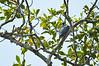 Peregrin Falcon<br /> <br /> 201-DSC_2483