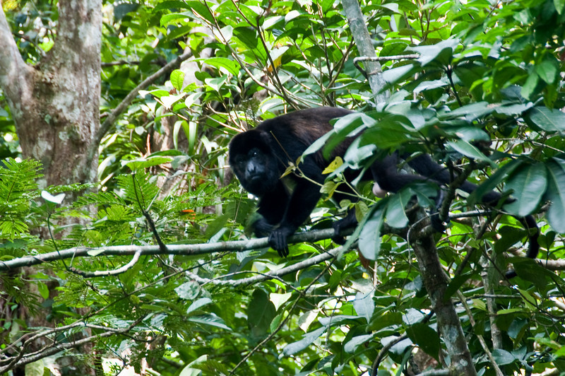 Howler Monkeys are plentiful here.<br /> <br /> 259-DSC_2897